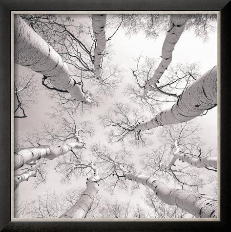 Silver Birch Framed Art Print