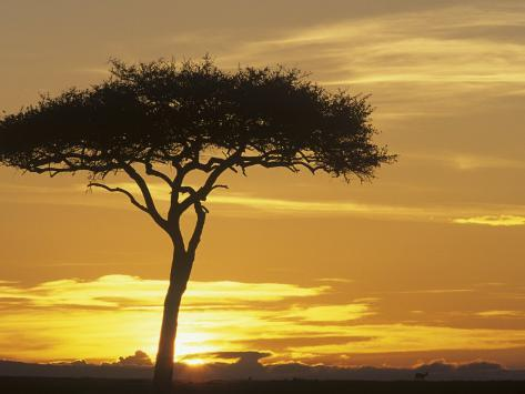 Acacia Tree Silhouetted at Twilight on the Savanna, Kenya, Africa Photographic Print
