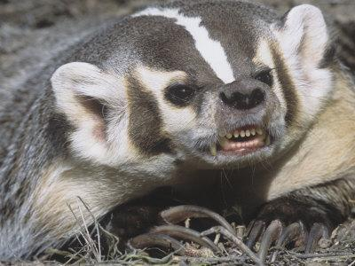 American Badger Snarling And Showing Showing Its Long