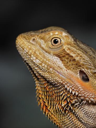 Bearded Dragon, Pogona Vitticeps, Captive Photographic Print