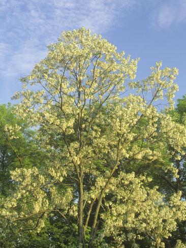 Black Locust Tree, Robinia Pseudoacacia, in Full Bloom, USA Photographic Print