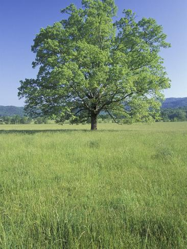 Bur Oak in Grassy Field, Great Smoky Mountains National Park, Tennessee, USA Photographic Print