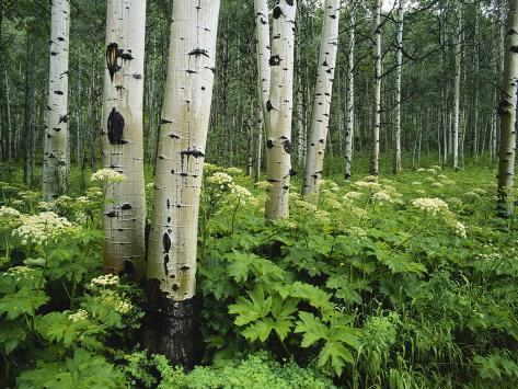 Cow Parsnip Growing in Aspen Grove, White River National Forest, Colorado, USA Photographic Print