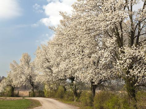 Crabapple Trees in Full Bloom, Louisville, Kentucky, Usa Stampa fotografica