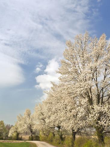 Crabapple Trees in Full Bloom, Louisville, Kentucky, Usa Stampa fotografica