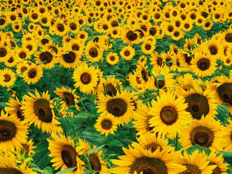 Field of Sunflowers, Frankfort, Kentucky, USA Photographic Print