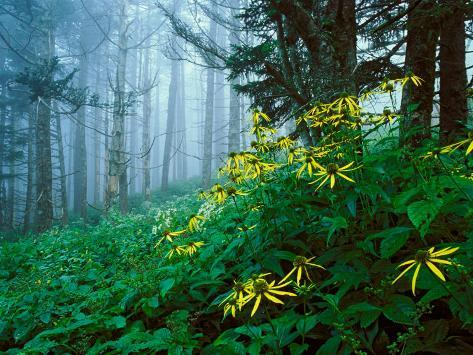 Golden-Glow Flowers, Great Smoky Mountains National Park, North Carolina, USA Fotoprint