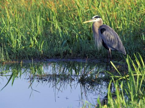 Great Blue Heron in Taylor Slough, Everglades, Florida, USA Photographic Print