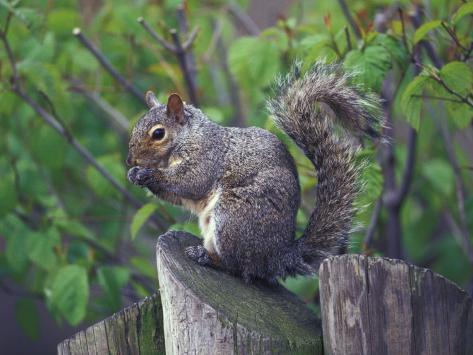 Grey Squirrel on Fencepost Photographic Print