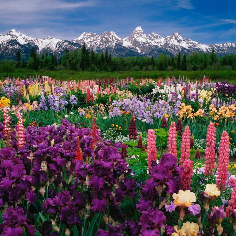Iris and Lupin Garden, Teton Range Photographic Print