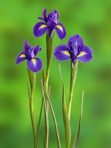 Iris Flowers Photographic Print