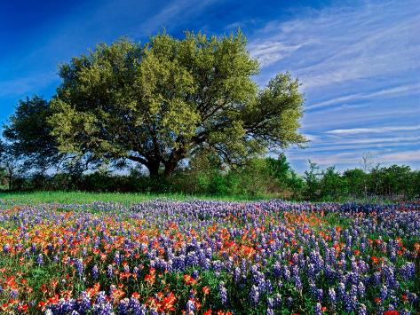 Live Oak, Paintbrush, and Bluebonnets in Texas Hill Country, USA Photographic Print