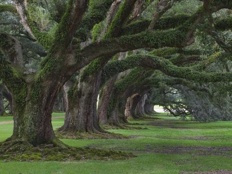Live Oaks, Quercus Virginiana, Oak Alley Plantation, Vacherie, Louisiana Photographic Print