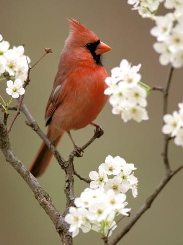 Male Northern Cardinal Photographic Print