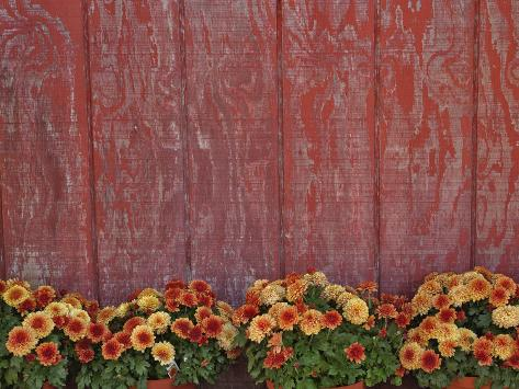 Mums and Red Barn Walll Stampa fotografica