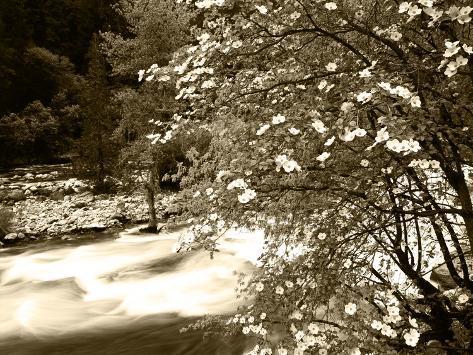 Pacific Dogwood Tree, Merced River, Yosemite National Park, California, USA Photographic Print