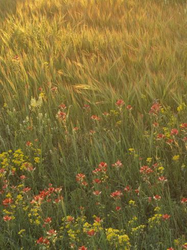 Paintbrush, Low Bladderpod and Grass, Texas Hill Country, USA Photographic Print
