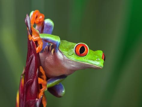 Red Eyed Tree Frog Photographic Print By Adam Jones At
