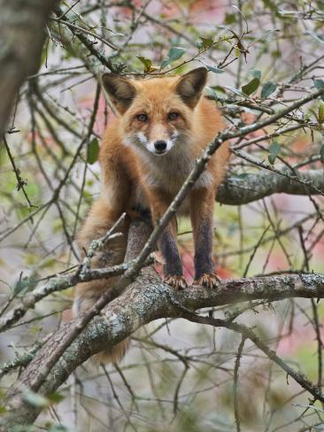 Red Fox in a Tree, Vulpes Vulpes, North America Photographic Print