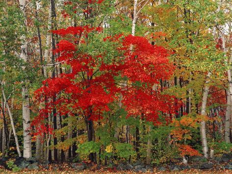 Red Maple and White Birch, White Mountains National Forest, New Hampshire, USA Photographic Print