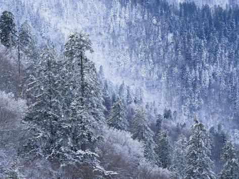 Snow Covered Trees in Forest, Great Smoky Mountains National Park, Tennessee, USA Photographic Print
