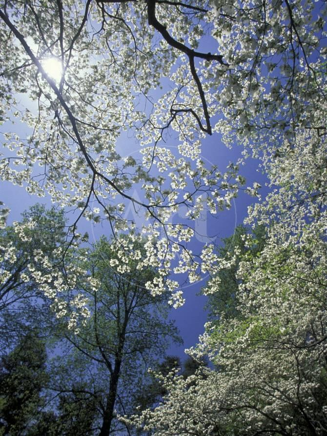White Flowering Dogwood Trees In Bloom Kentucky Usa Photographic