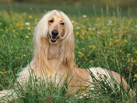 Afghan Hound Lying in Grass Photographic Print