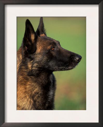 Belgian Malinois / Shepherd Dog Profile Portrait Framed Art Print
