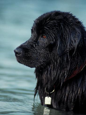 Black Newfoundland Standing in Water Photographic Print