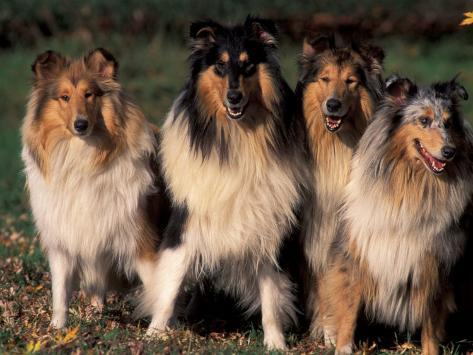 Domestic Dogs, Four Rough Collies Sitting Together Photographic Print