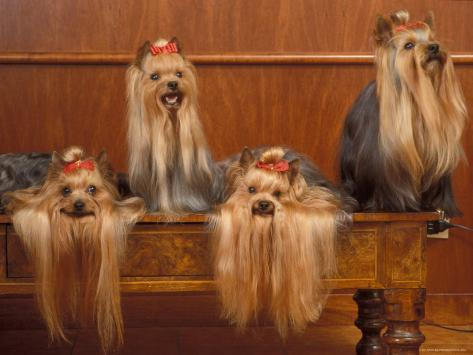 Domestic Dogs, Four Yorkshire Terriers on a Table with Hair Tied up and Very Long Hair Photographic Print