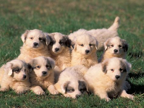 Domestic Dogs Group Of Eight Pyrenean Mountain Dog Puppies