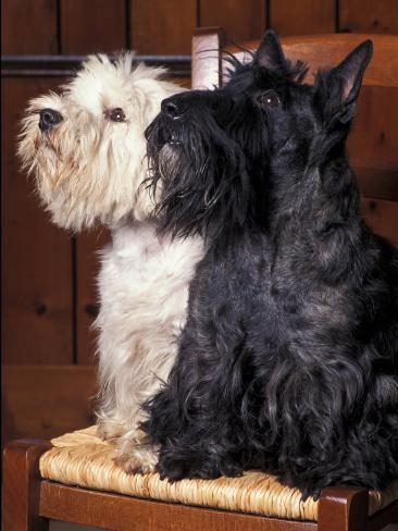 Domestic Dogs, West Highland Terrier / Westie Sitting on a Chair with a Black Scottish Terrier Photographic Print