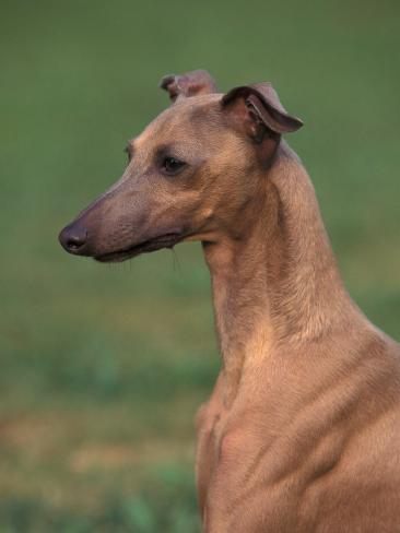 Fawn Whippet Looking Down Photographic Print
