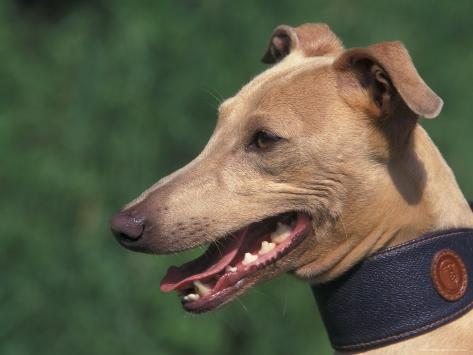 Fawn Whippet Wearing a Collar Photographic Print