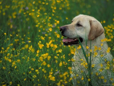 Labrador Retriever Sitting Among Flowers Photographic Print