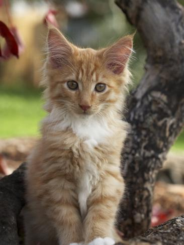 Maine Coon Red Tabby Cat Kitten, Three-Months Photographic Print