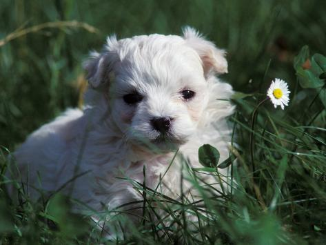 Maltese Puppy Sitting in Grass Near a Daisy Photographic Print