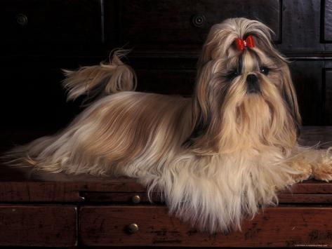Shih Tzu Portrait with Hair Tied Up, Lying on Drawers Photographic Print