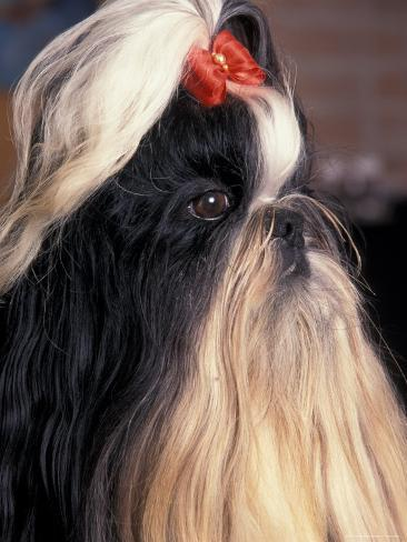 Shih Tzu Profile with Hair Tied Up Photographic Print