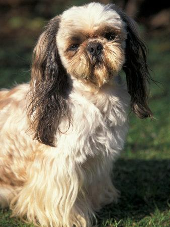 Shih Tzu With Facial Hair Cut Short Photographic Print By