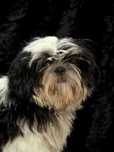 Shih Tzu with Hair Cut Short Photographic Print