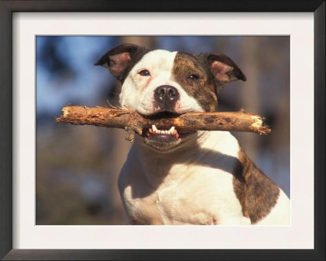 Staffordshire Bull Terrier Carrying Stick in Its Mouth Framed Art Print