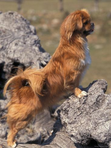 Tibetan Spaniel Perching on Rocks for a Better View Photographic Print