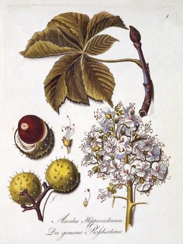 Aesculus Hippocastanum Stampa giclée