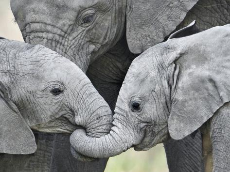 African Elephant Calves (Loxodonta Africana) Holding Trunks, Tanzania Stampa fotografica