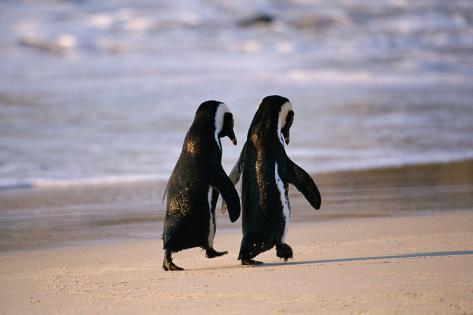 African Penguins Poster