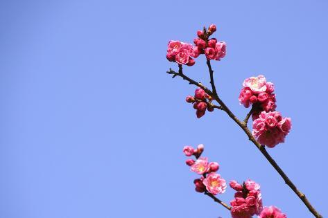 Red Plum Blossoms and Blue Sky, Nara Prefecture Valokuvavedos