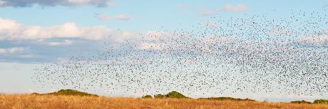 Huge Bird Flock Photographic Print