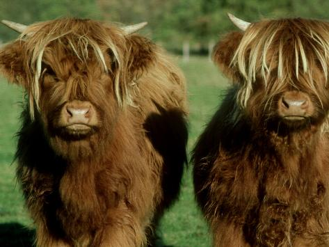 Highland Cattle, 9 Month Old Calves, Scotland Photographic Print